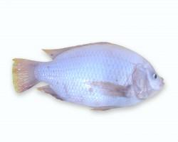 Talapia Fish 金凤鱼 (红非洲)