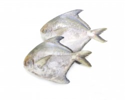 Sabah Chinese Pomfret 沙巴斗鲳