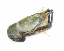 Fresh Water Prawn 生虾